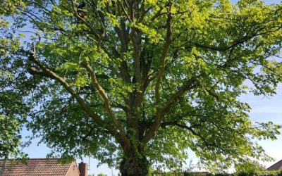 Lime tree reduction